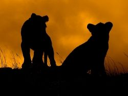 Lion Cub silhouettes Source: Mara 1 on Flickr
