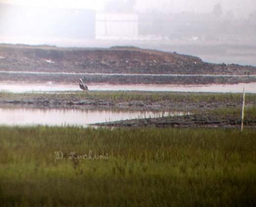 Digscoped pelican miles away