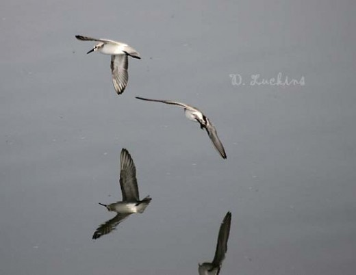 Western sandpipers, flying