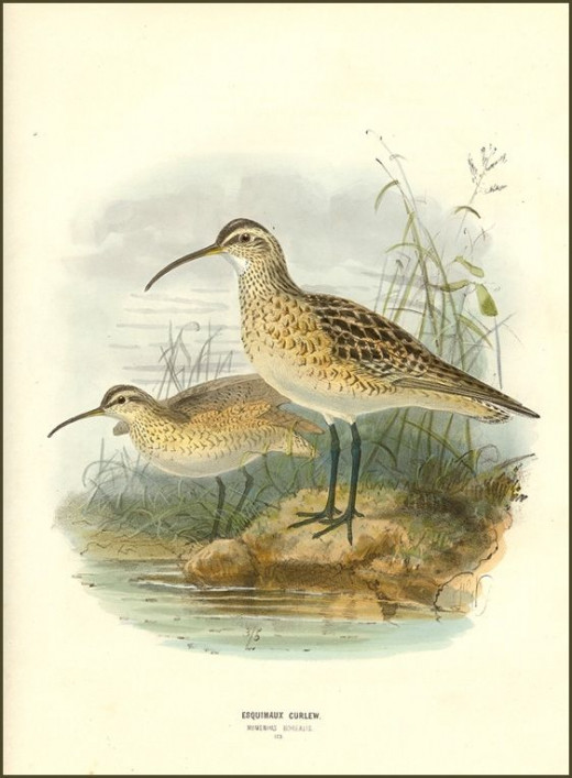 Early drawing of an Eskimo curlew