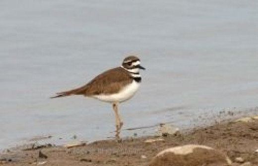 Tiny the killdeer
