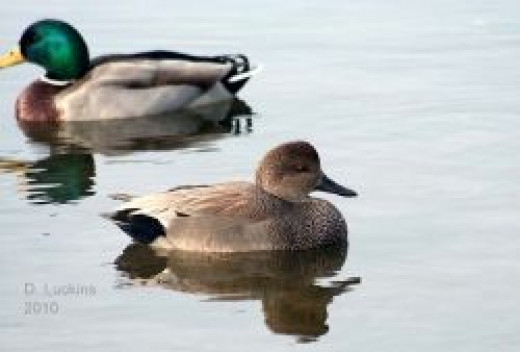 mallard and gadwall