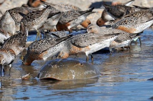 Red knots and horseshoe crabs