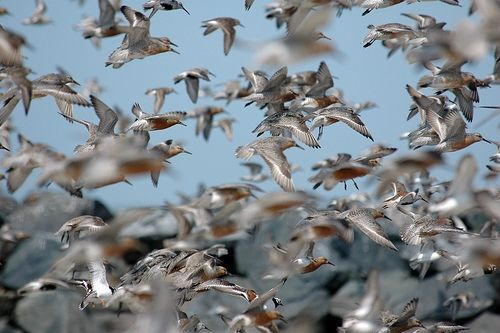 Red knots