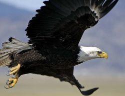 Bald Eagle USFWS