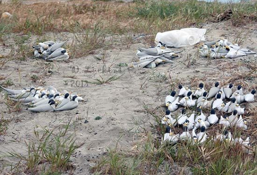 Least Tern Decoys