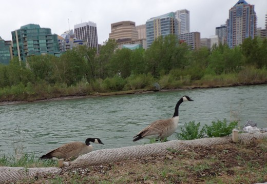 Trekking along the Bow River on the outskirts of downtown Calgary.