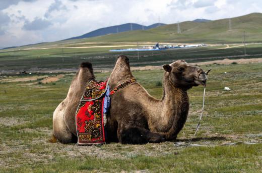 Camel; Author Erdenebayar