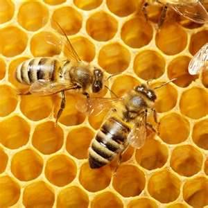 A honey bee filling a honeycomb cell.