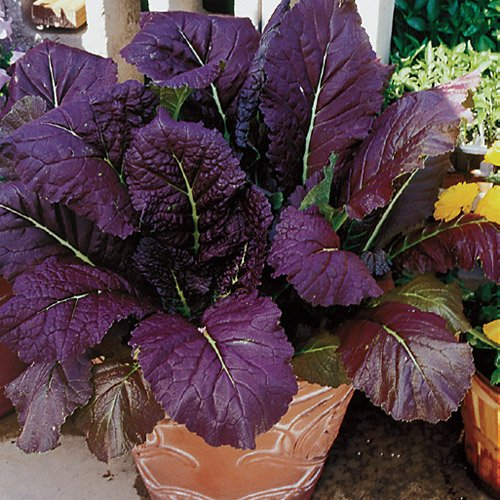 Red Mustard similar to Romaine leaves has a pungent, peppery flavor to give your salad a tasty edge