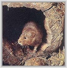 vole: native tongue hiaasen