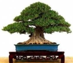 Weeping Chinese Banyan Tree 20 Seeds
