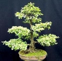 Chinese Elm Bonsai 25 Seed