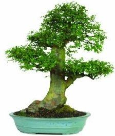 Brussel's Chinese Elm