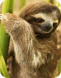 Three-Toed Sloth in Costa RIca