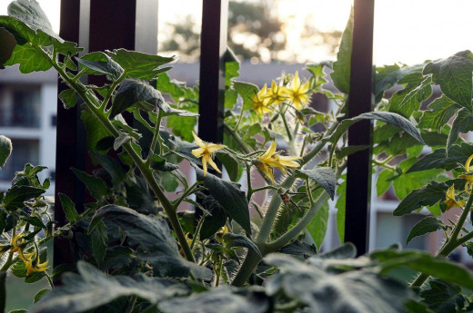 The huge number of lovely tomato blossoms that came on after I fertilized.