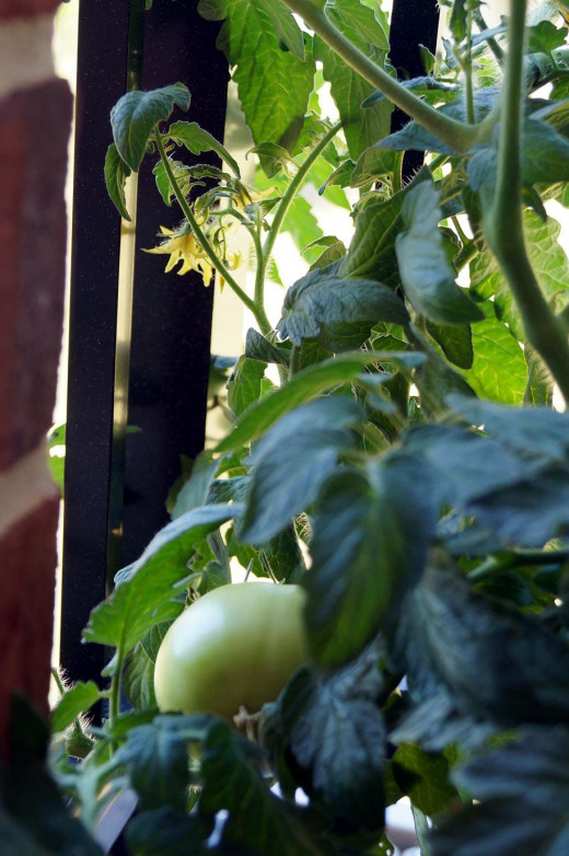 The rail helps to support the tomato plant.