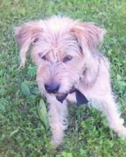 BARAK - Bosnian coarse-haired hound