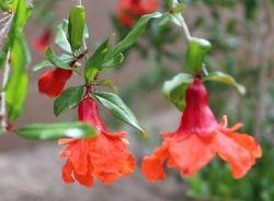Pomegranate Blossoms