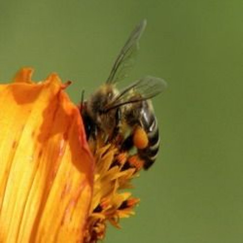 Use bee propolis benefits for your health