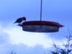 Hummingbird silhotte at Dusk