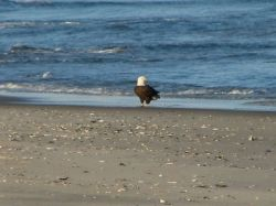 atlantic ocean bald eagle