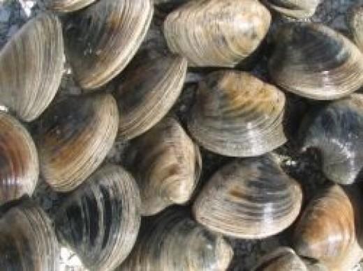 florida hard clams