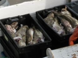 new england cod fish