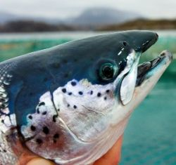 Over 13 million fresh Scottish salmon were exported in 2009 â an increase of 24% when compared with the previous year.