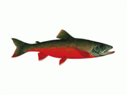 Canadian Red Trout