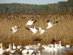 atlantic flyway snow geese