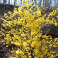 How To Grow Forsythia Bushes: The First Blooms Of Spring