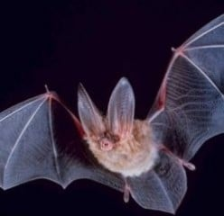 Bats in Halloween Folklore and the History of Halloween Bats