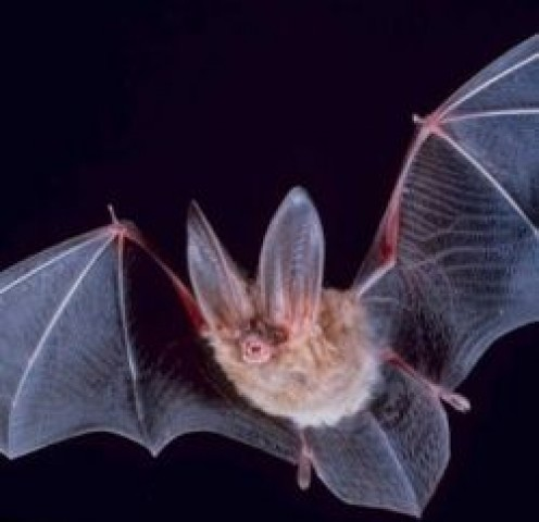Bats in Halloween Folklore and in the History of Halloween