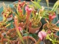 Growing Carnivorous Plants That Eat Bugs