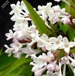 Beautiful White Lilac Flowers
