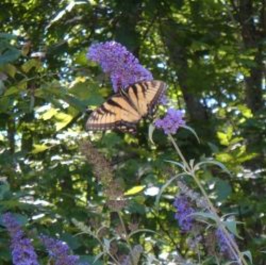 Swallowtail butterfly visits our Butterfly Bush
