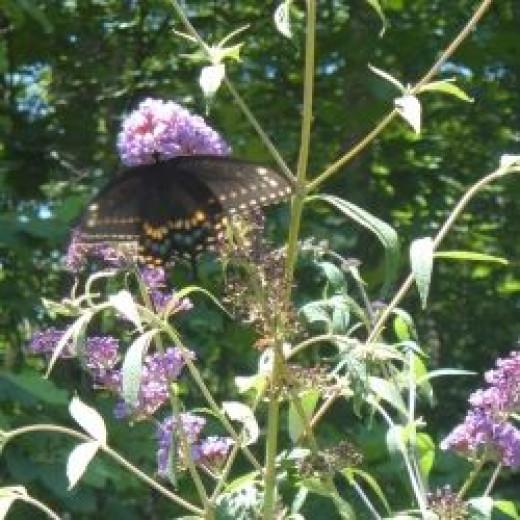Black Swallowtail Feeding On A Butterfly Bush