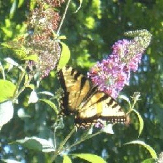 Tiger Swallowtail Feeding on a Butterfly Bush