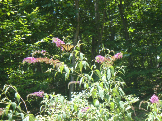 Pruning Butterfly Bush Tips