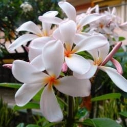 Free To Use Plumeria Images
