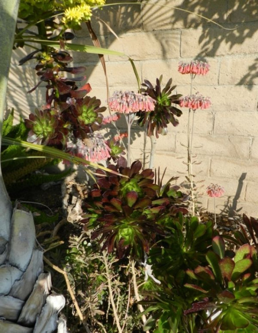 Mexican Hat and Tip Top Aeonium