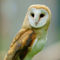 How to Build a Barn Owl Nesting Box: Barn Owl Nest Box Plans