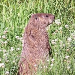 Groundhogs are cute - until they clean out your veggie patch