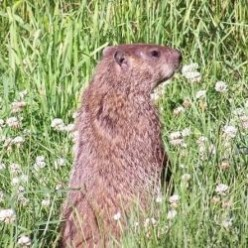 How to Get Rid of Groundhogs, Woodchucks and Voles