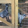 Welcome To Our Goat Pen! Meet Our Pet Pygmy Goats