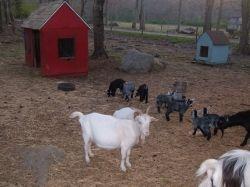 Oliver and Delilah's former goat herd