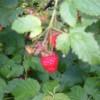 When To Prune Raspberries: Planting Raspberry Bushes
