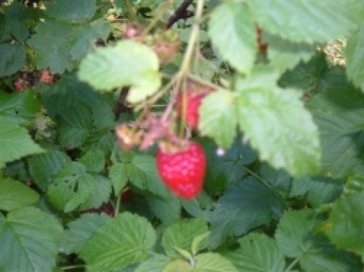 A ripe Raspberry, ready for picking