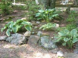 Rock Garden Hostas